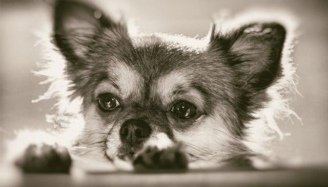 Chihuahua-breeding-