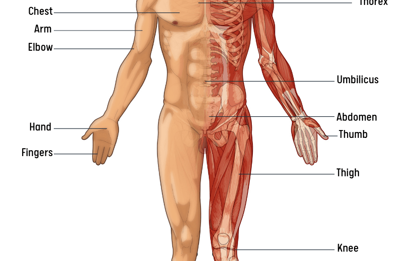 Human Body: Parts Name List in English with Image