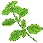 basil vegetable