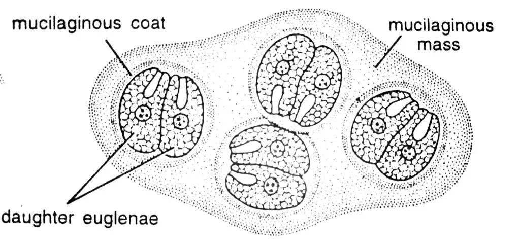 Encystment in Euglena