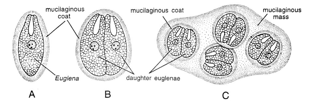 Multiple Fission  Encystment in Euglena