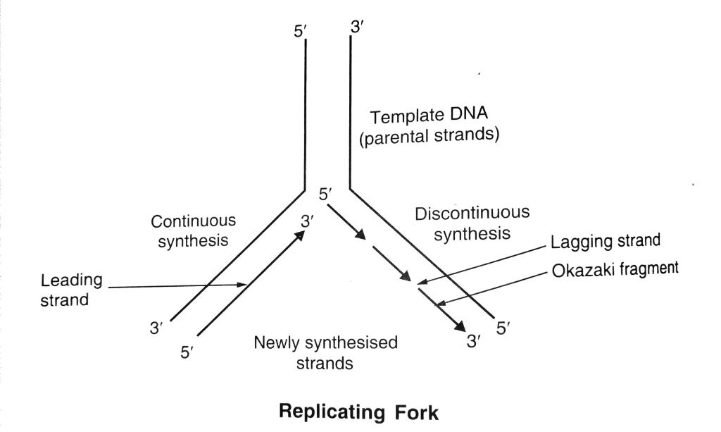 DNA Lagging and Leading Strands in the Replication Fork
