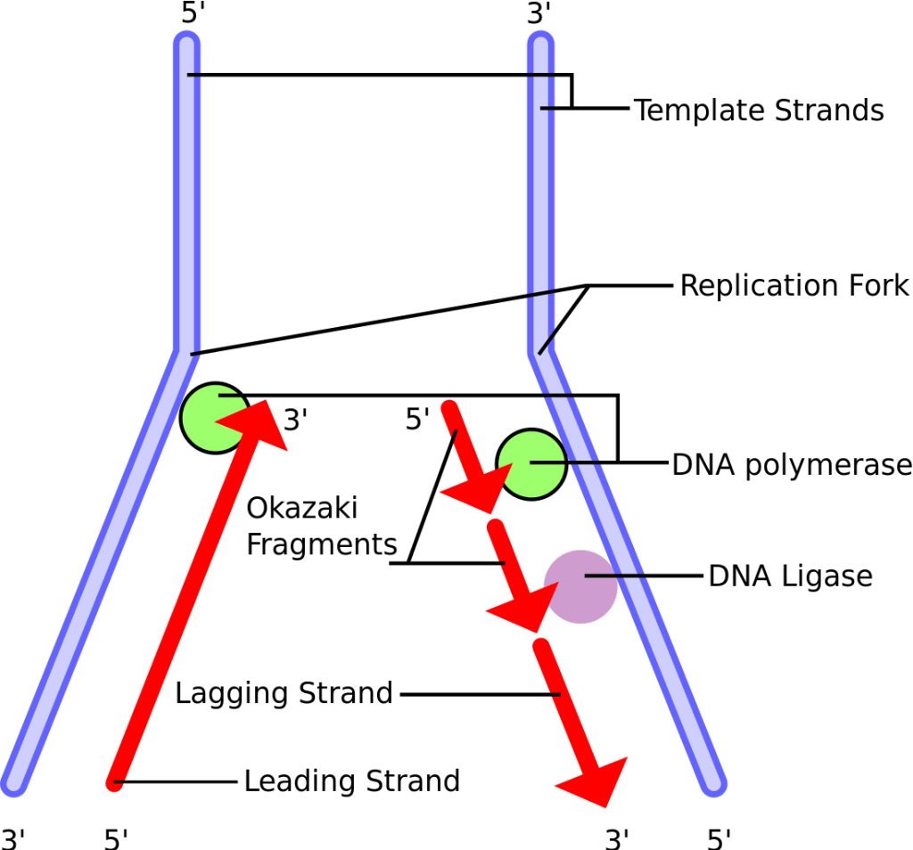 Leading Strand and Lagging Strand of DNA