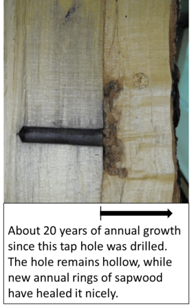 "A vertical cross section of a tree trunk, with the dark brown tube of the taphole cross-section as well. An outer layer of unmarked sapwood overlays it. The caption says ""About 20 years of annual growth since this taphole was drilled. The hole remains hollow, while the new annual rings of sapwood have healed it nicely."""