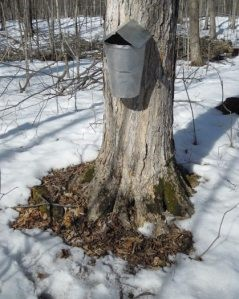 A maple tree with a sap collection bucket attached to it. The area surrounding the tree roots is clear of snow.