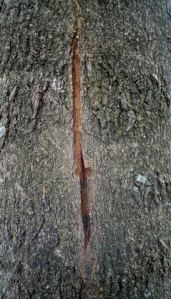 A tree trunk with a large vertical split in it above and below a taphole.