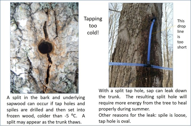 Two photos side by side. The photo on the left depicts a taphole with a split in the bark. The photo on the right depicts a maple tree with a blue vacuum tube attached to it and sap leaking from the attachment point.