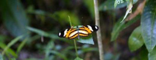 papillon ilha grande