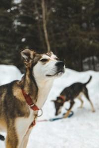 Portrait d'un chien de traîneau au Québec