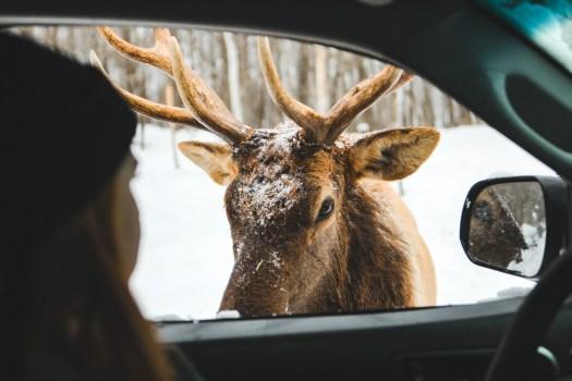 Observation d'un wapiti en voiture dans le Parc Oméga en hiver