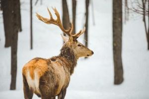 Cerf dans le parc oméga sous la neige en hiver