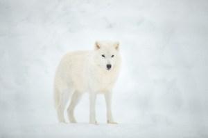 Loup arctique dans le parc oméga au Québec en hiver