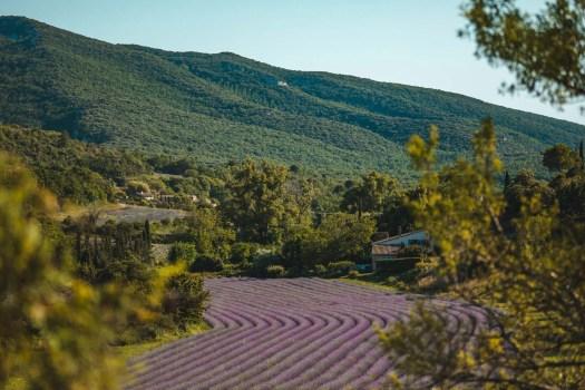 champs de lavande provence buoux