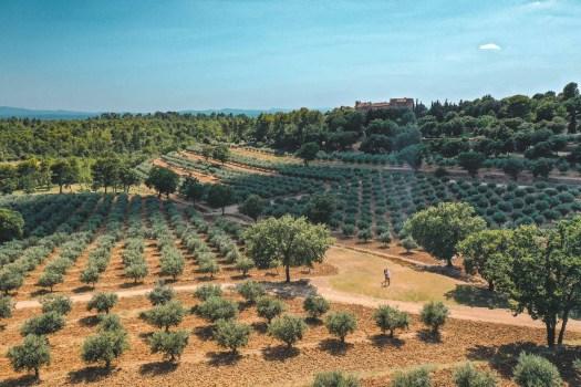champs d'oliviers autour du verdon