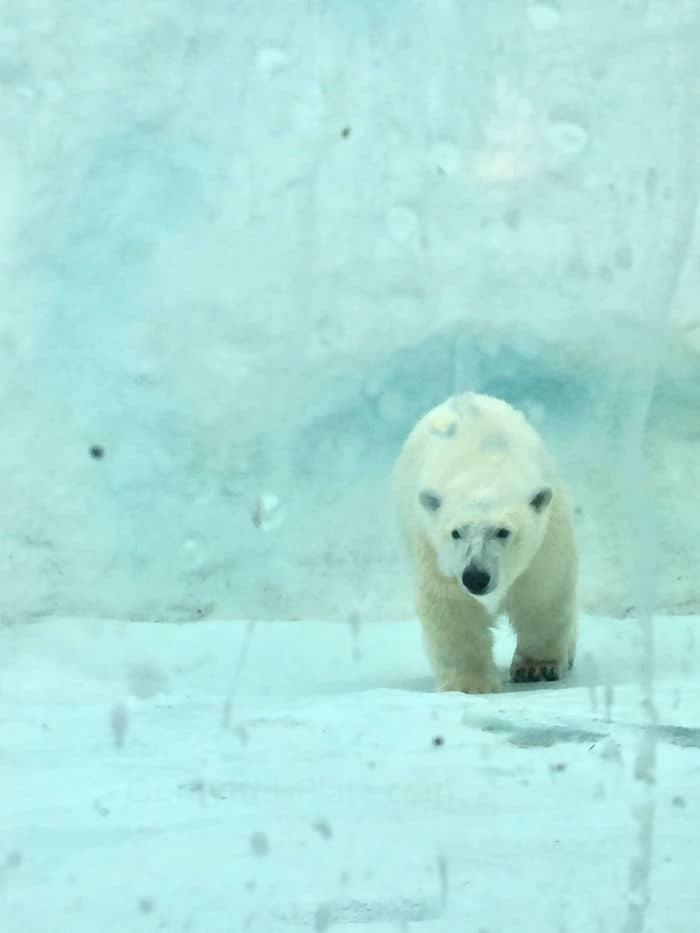 A polar bear walks towards us in a white and snowy landscape