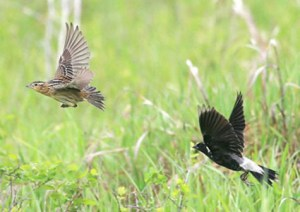 A pair of Bobolinks. Both parents work together to feed their young.