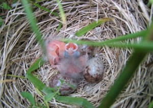 Baby grassland birds need about 60 days to mature. If farmers mow while they are too young to fly, they have a survival rate near zero.