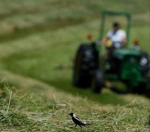 Bobolink crosses a hayfield.