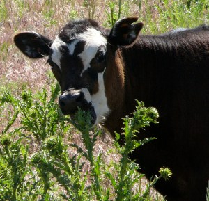 This calf is eating musk thistle, just like her mom taught her to do.