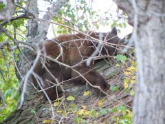 Here's a reminder to me - it's another of the bears that enjoy our neighborhood, sleeping comfortably in a tree.