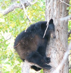 I tracked the bear to my neighbors later.  Here it is sleeping in a tree.