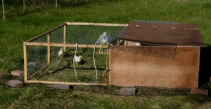 We redesigned our chicken tractor so that it would be light enough for 2 gals to move around the pasture.