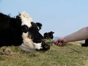 FeedingCowGrass