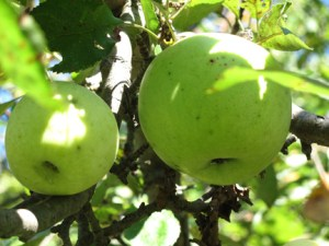 Lovely green apples, photo by Troy Bishopp