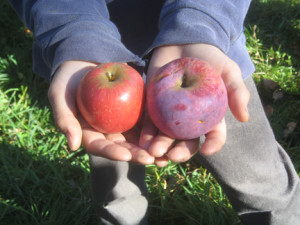 Wild apple varieties from red to purple.  Photo by Troy Bishopp