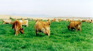 Dave Scott's dairy cattle managed with intensive grazing
