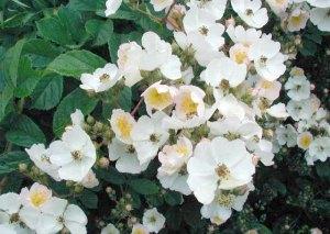 Rosa-multiflora2