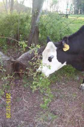 "This is a photo courtesy of ""Ohio Dave"" on a Cattle Today Forum showing one of his cows eating multiflora rose."