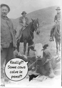 CowsCalveInPens?