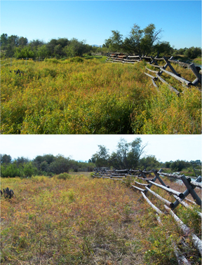 This is an example of the progress trained heifers made on reducing leafy spurge in pasture at Grant-Kohrs Ranch National Historic Site in Deer Lodge Montana. Pictures were taken in early August of 2005. After the fence was taken down and cattle had access to a mown hayfield, they returned to this pasture on their own and finished off the leafy spurge.