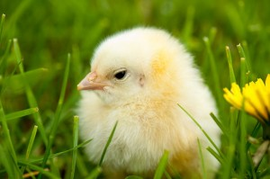 chick-in-grass-300x199