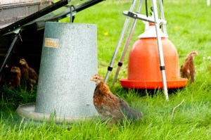 chicks-with-feeder-300x199