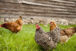 pastured-hens-300x199
