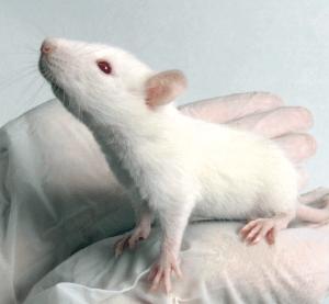Sprague Dawley Rat