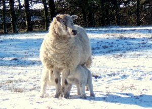 Ewe_with_two_lambs_in_the_snow_-_geograph.org.uk_-_550962