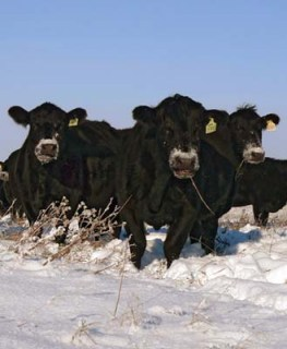 cowsnowfaces