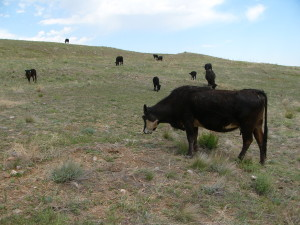 Cows climb side hill to graze.  Photo by Kathy Voth
