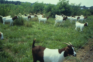 Goats prefer high quality browse like honeysuckle, briars and other weedy species and, over time, can completely eliminate them from pastures.