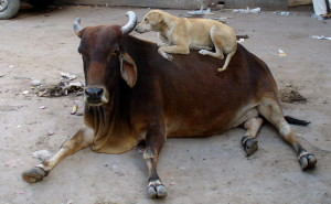 Both the cow and the dog are relaxed.  No need for barking or yelling here.