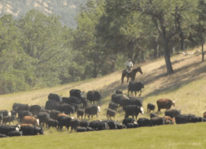 Herding cattle away from riparian area