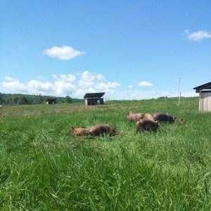 Snug Valley Farm pastured pigs