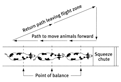Diagram from Humane Livestock Handling, T. Grandin & M. Deesing. Used with permission of T. Grandin.