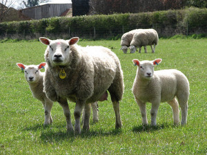 Photo by Evelyn Simak of a Texel ewe and twin lambs.