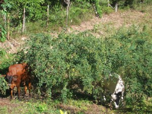 Peas are popular with cows as this gardener found out when they decided to head to her garden. Photo courtesy of your saucepan.blogspot.com