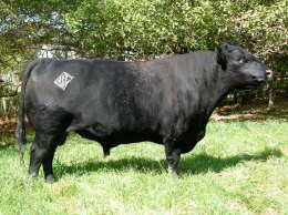 Beral of Wye was the senior herd sire at Black Queen Angus Farm.  He was purchased by Kit Pharo of Colorado who has sold a number of bull calves sired by this bull.