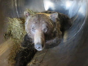This 2011 photo from the Bozeman Daily Chronicle is of a trapped grizzly bear that was relocated from the Red Lodge, Montana area to the Gallatin area north of Yellowstone National Park after it killed a cow.